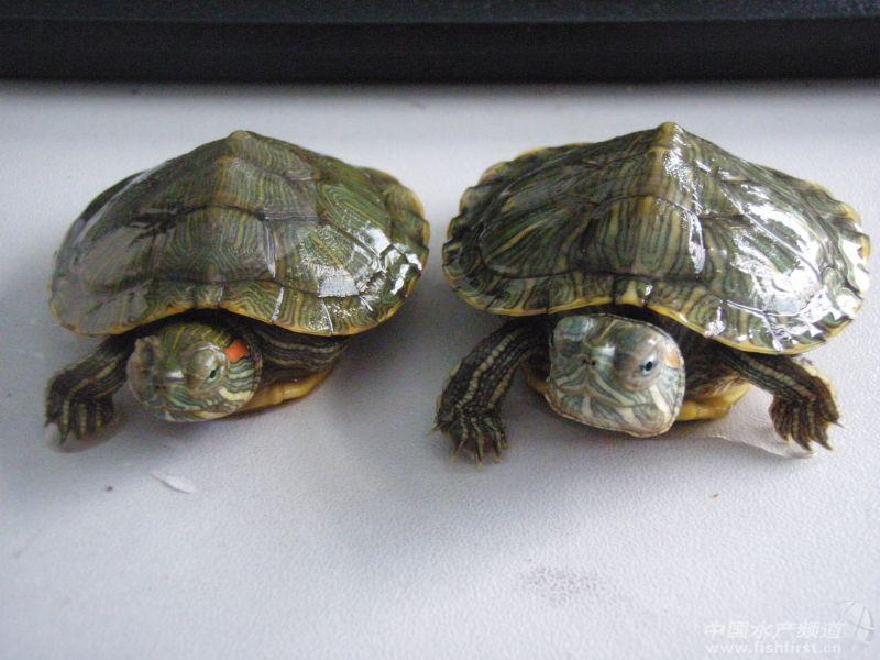 巴西龟眼肿怎么办? - 龟鳖 - 中国水产频道 | 网聚