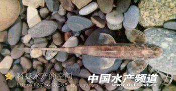 史上最全(169种)的淡水鱼图集(下