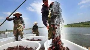 今年小龙虾价格为什么崩盘似的暴跌?