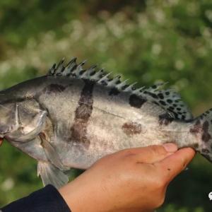 从罗虾到鳜鱼,养殖思维要怎么变?