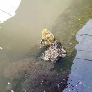 黑斑蛙幼蛙期的养殖管理