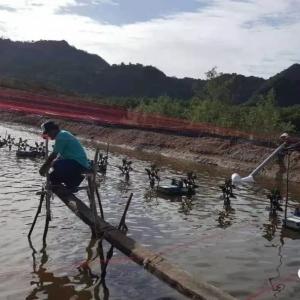泰国虾农养虾,土塘也能亩产超万斤!