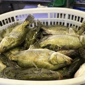 暴涨5元/斤!鳜鱼老鱼最高52元/斤!